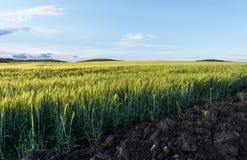 接近的域绿色黑麦 蓝色覆盖积云天空 夏令时风景 选择聚焦 概念农业的文化 免版税库存图片