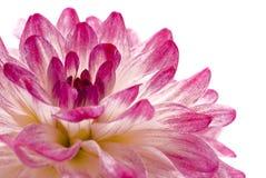 接近的大丽花查出的粉红色  免版税库存照片