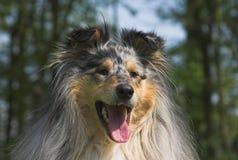 接近的大牧羊犬 免版税库存图片