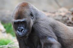 接近的大猩猩silverback 库存照片