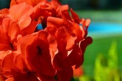 接近的大竺葵红色 库存图片