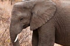 接近的大象题头 库存图片