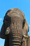 接近的大象题头 库存照片