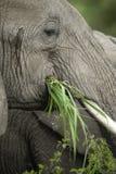 接近的大象题头s 库存图片