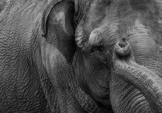 接近的大象 免版税库存照片