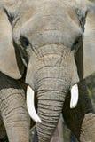 接近的大象 免版税库存图片