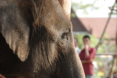接近的大象 库存图片