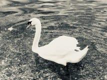 接近的天鹅 免版税图库摄影