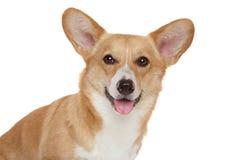 接近的威尔士的小狗愉快的pembroke纵向 免版税图库摄影