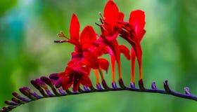 接近的宏指令的美丽的红色花 免版税图库摄影