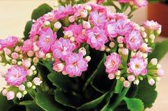 接近的室内植物kalanchoe瓣粉红色 免版税库存图片