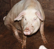 接近的小的猪 库存图片