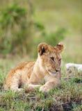 接近的崽利奥狮子panthera 库存照片