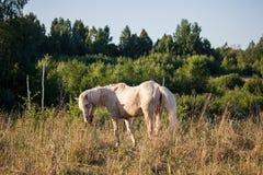 接近的提供的马草甸 库存图片