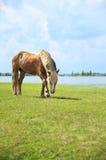 接近的提供的马草甸 图库摄影