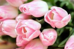接近的新鲜的桃红色郁金香 图库摄影