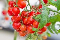 接近的新鲜的红色蕃茄 库存图片