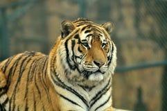 接近的日纵向晴朗的老虎 免版税库存照片