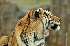 接近的日纵向晴朗的老虎 图库摄影