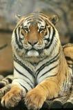 接近的日纵向晴朗的老虎 免版税库存图片
