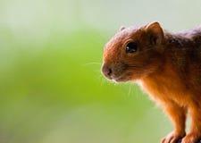 接近的有腿的范围红松鼠 库存照片