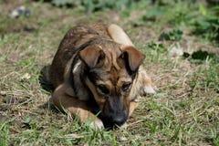 接近的杂种小狗 免版税库存照片