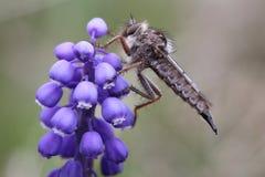 接近的极其飞行昆虫其他食肉动物的强盗 免版税库存图片