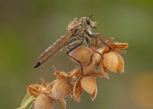 接近的极其飞行昆虫其他食肉动物的强盗 免版税图库摄影