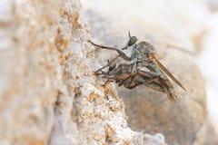 接近的极其飞行昆虫其他食肉动物的强盗 图库摄影