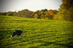 接近的母牛牛奶店题头s 库存照片