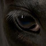 接近的母牛眼睛黑白花牛 库存图片