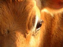 接近的母牛眼睛 免版税库存照片
