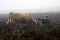 接近的母牛遭遇 免版税库存图片