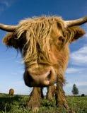 接近的母牛长毛的题头 库存图片