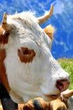 接近的母牛题头山瑞士 库存照片