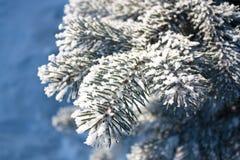接近的毛皮结构树 免版税库存图片