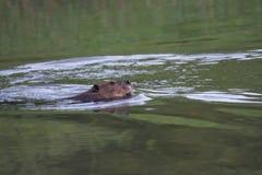 接近的海狸 图库摄影