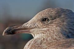 接近的海鸥 图库摄影