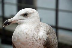 接近的海鸥 库存图片