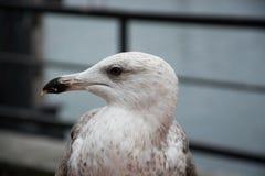 接近的海鸥 免版税库存照片