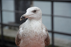 接近的海鸥 免版税库存图片