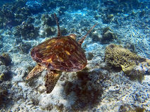 接近的照片海运游泳乌龟 免版税库存图片
