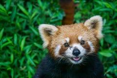 接近的熊猫红色 库存图片