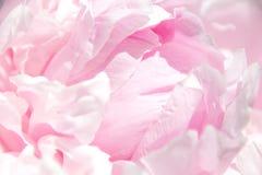 接近的牡丹粉红色 美丽的花,宏指令 瓣关闭 免版税图库摄影