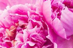 接近的牡丹粉红色 图库摄影