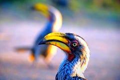 接近的犀鸟 免版税库存照片