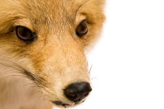 接近的狐狸查阅 免版税库存照片