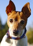 接近的狐狸照片狗玩具 免版税库存照片