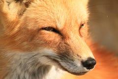 接近的狐狸红色 免版税库存图片