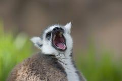 接近的狐猴尾部有环纹  免版税库存图片